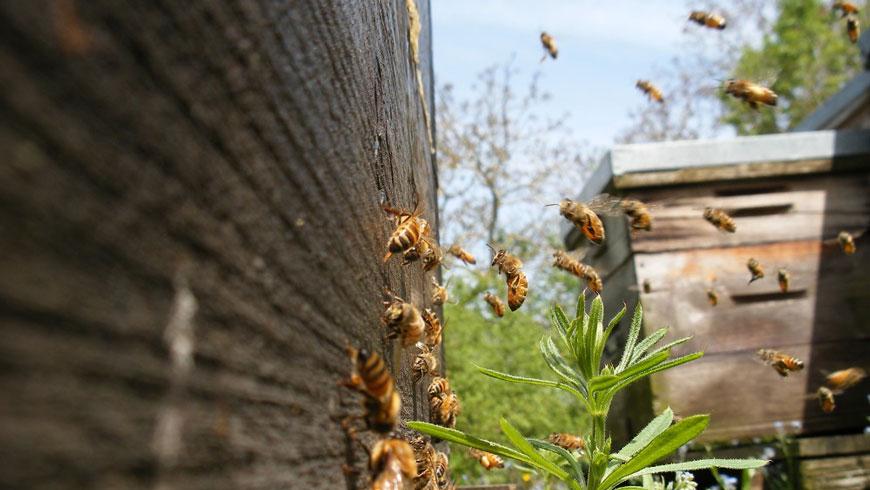 Colonie d'abeille sur une ruche du bocage vendéen