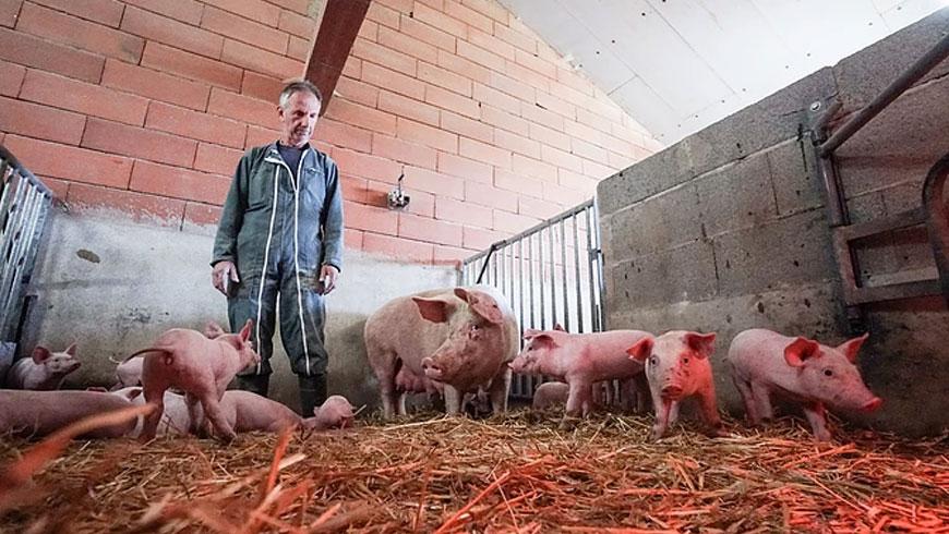 Elevage porc bio en Vendée