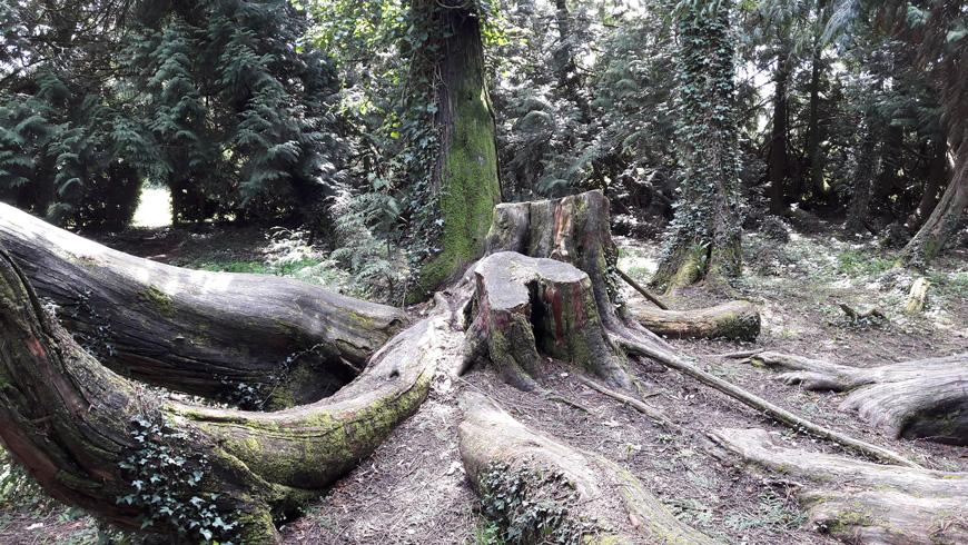 Racine du séquoia